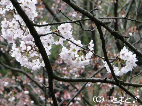 金ヶ崎城跡の桜