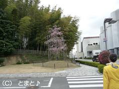 桜の木と竹林