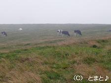 美ヶ原高原 牛