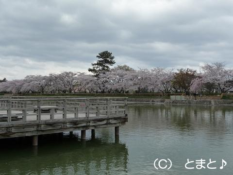 八条ヶ池と桜