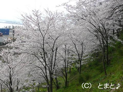 金ヶ崎城跡 桜
